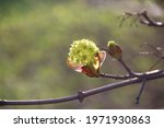Blooming Young Leaves From The...