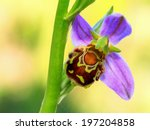 Rare Bee Orchid Ophrys Apifera...