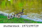 Group Of Baby Geese Follow...