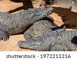Crocodiles Sunbathing On Sand...