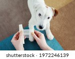 Dog jack russell terrier...