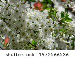 Cherry Blossoms  Cherry...