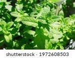 Spearmint  Also Known As Garden ...