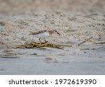 Tiny Shorebird  The Sanderling  ...