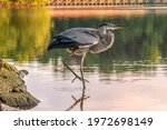 Great Blue Heron Stretching Out ...
