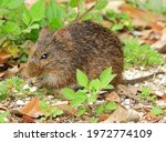 A Cute Cotton Rat Foraging In ...