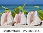 Three Pink Conch Shells On The...