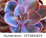 Cactus Echeveria Plant Close Up ...