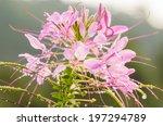 cleome hassleriana or spider... | Shutterstock . vector #197294789