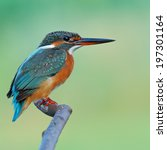 Small photo of A female Common Kingfisher is perching on a branch.(Alcedo atthis)