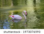 A Pink Flamingo Swims In A Pond ...