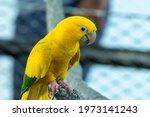 A Golden Parakeet Or Golden...