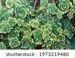 Background Of Big Succulent...