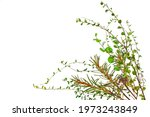 Branches Of Cowberries  Dwarf...