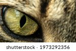 Detail Of A Feline's Eye With...