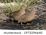 Brown quails searching for food ...