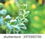 Closeup Succulent Plants Burro...