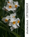 Spring Blossom Of Narcissus  ...