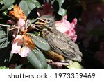 American Robin Chick On The...
