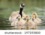 Canadian Goose Chicks