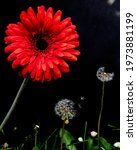 A Large Red Gerbera Above Two...