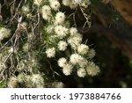 Sydney Australia  Flowers Of A  ...
