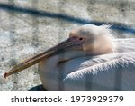 Pink Pelican Resting In The Sun
