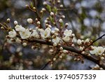 White Beautiful Flowers In The...
