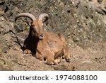 The Barbary Sheep  Ammotragus...