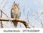 A Wild Great Horned Owl Perched ...
