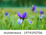 Siberian Blue Iris  Single Lily ...