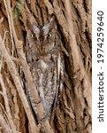 Eurasian Scoops Owl Eyes Opened