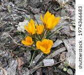 macro photo yellow crocus wild... | Shutterstock . vector #1974366683