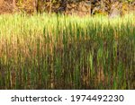 Green Reed Growing In A Swamp....