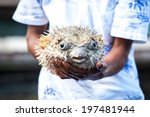 Puffer Fish On Male Hand....