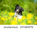 Border Collie On The Field Wit...