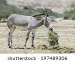 African Wild Donkey  Equus...