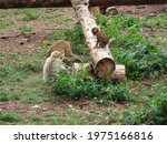 A Baby Barbary Macaque Plays On ...