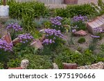 Purple Bulbs Of Flowering Onion ...