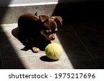 Cute Little Brown Chihuahua Dog ...