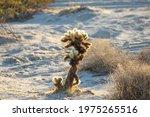 A Teddy Bear Cholla Cactus...