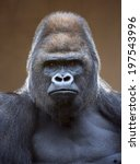 portrait of a gorilla male ... | Shutterstock . vector #197543996