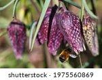 Fritillary Chess Flower In...