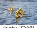 Group Of  Cute Canada Geese...