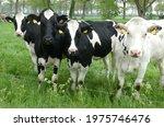 Four Holstein Friesians Cows...