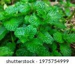 Spearmint  Garden Mint Plant...