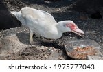 White Muscovy Duck Standing On...