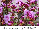 Pink rhododendron flowers in...