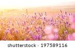 lavender field in the summer on ...   Shutterstock . vector #197589116