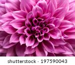 Macro Image Of A Purple Dahlia...